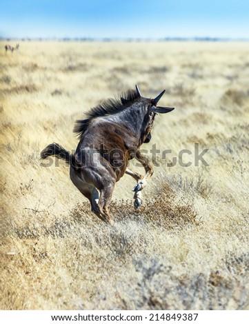 Blue Wildebeest flee in Etosha National Park - Namibia, South-West Africa - stock photo