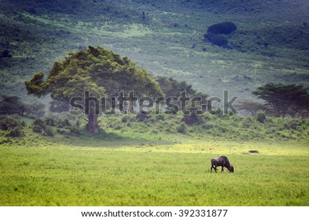 Blue wildebeest (Gnu or Connochaetes taurinus) in the Serengeti national park, acacia trees on background. Big animal in the nature habitat, Tanzania, Africa - stock photo