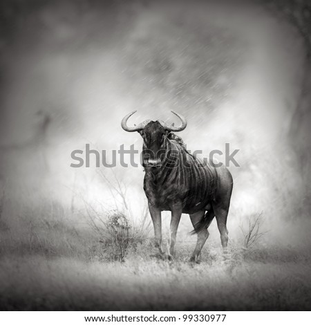 Blue Wildebeest in Rainstorm (Artistic processing) - stock photo
