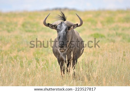 Blue Wildebeest in the Kgalagadi Transfrontier Park  - stock photo