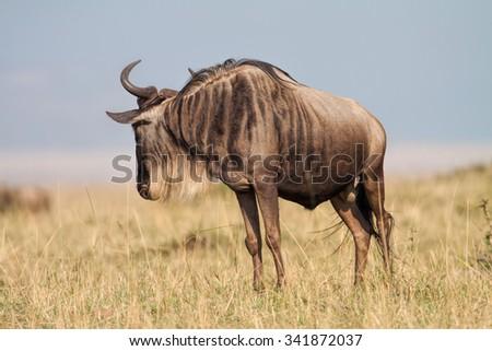Blue Wildebeest in the Maasai Mara National Park in Kenya, Africa - stock photo