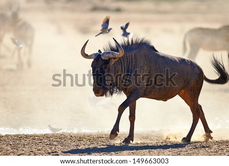 Blue wildebeest on dusty plains (  Taurinus; connochaetes ) - Kalahari desert - South Africa - stock photo