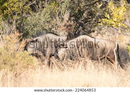 Blue Wilderbeest walking through bushveld - stock photo