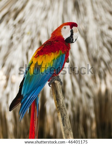 Blue wing red macaw - stock photo