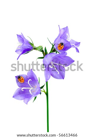 Bluebell and ladybirds isolated on a white background - stock photo
