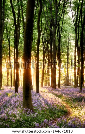 Bluebell sunrise in long tree shadows portrait view - stock photo