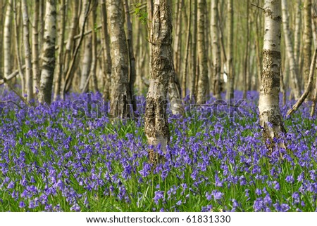 Bluebell Woods - stock photo