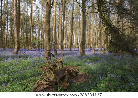 Bluebells in Austey Wood in Spring, near Stratford upon Avon, Warwickshire, England, UK - stock photo