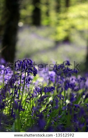 Bluebells in the forest. County Down, Northern Ireland - stock photo