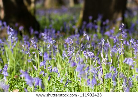 Bluebells in wood, springtime in Surrey, England - stock photo