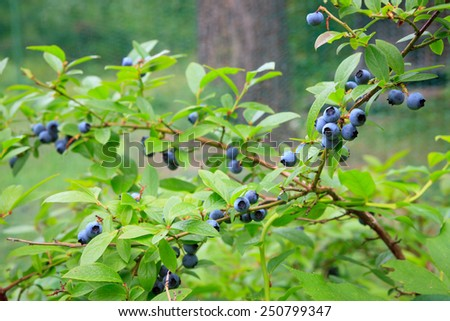 Blueberries at home garden - stock photo