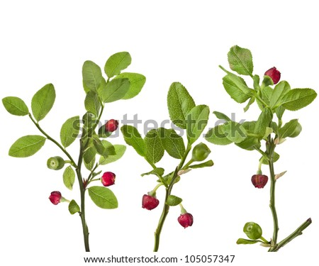 blueberries bloom isolated over a white - stock photo