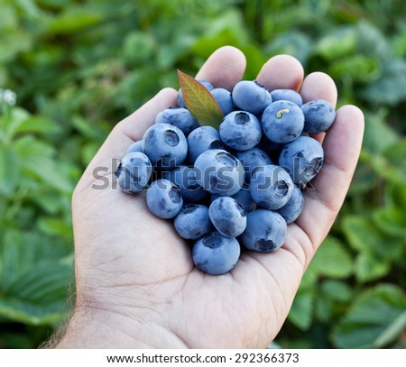 Blueberries in the man's hands. Green shrubs on the background. - stock photo