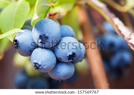 Blueberries on a shrub. Macro shot. - stock photo