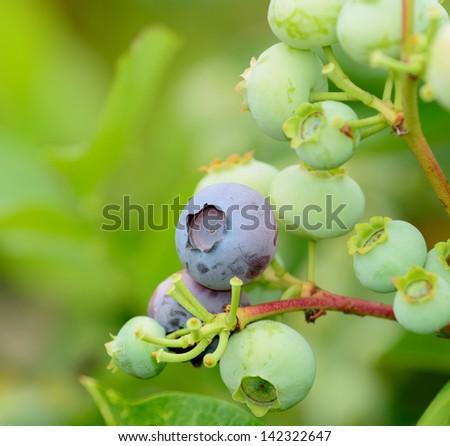 Blueberries ripening - stock photo