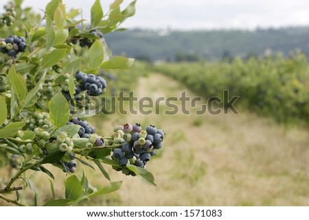 Blueberry cluster on bush - stock photo