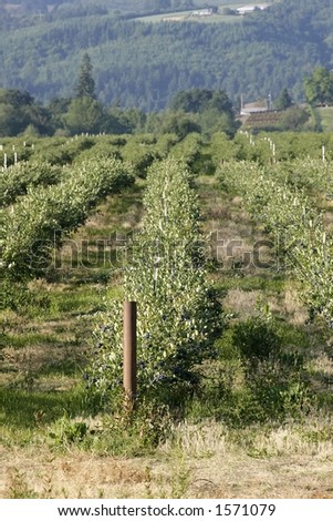 Blueberry field - stock photo