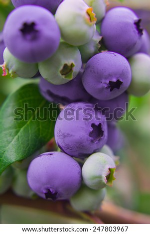 Blueberry twig, blueberry bush in a garden during summer time.Green leaves.  Macro perspective, background. Fresh fruits. Nobody. - stock photo