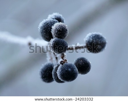 blueberry twigs under fluffy snow - stock photo