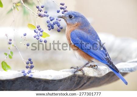 Bluebird and Berries  - stock photo