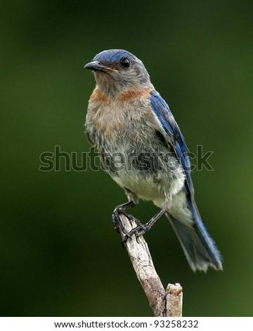 Bluebird beauty - stock photo
