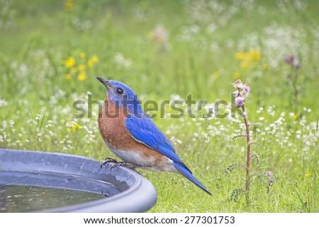 Bluebird on Bird Bath - stock photo