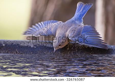 Bluebird Taking a Dive into the Birdbath  - stock photo
