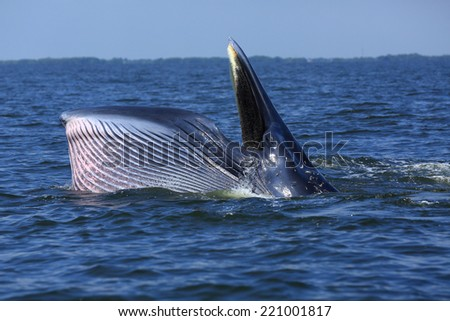 Blueda Whale in Thailand / Mouthed the bait / big whale - stock photo