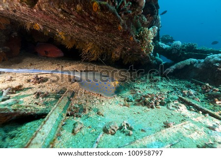 Bluespotted stingray at the Yolanda wreck in the Red Sea - stock photo