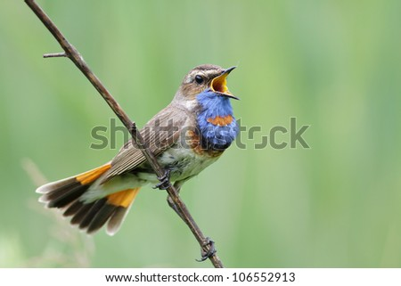 Bluethroat on the branch. - stock photo