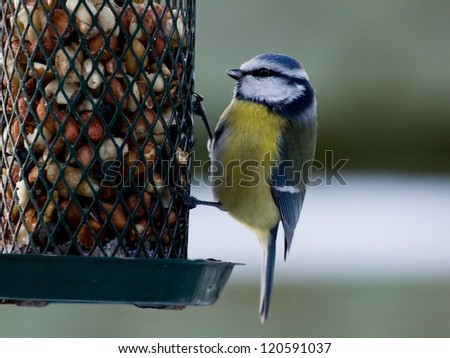 Bluetit sitting on a birdfeeder with peanuts - stock photo