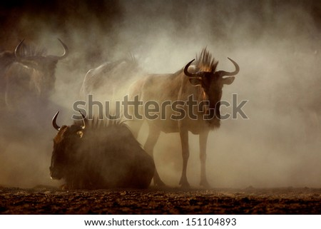 Bluewildebeest in Kalahari dust - stock photo