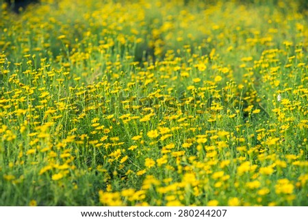 blur of yellow flowers  - stock photo