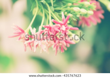 blurred and Soft focus Quisqualis Indica flower plant , Chinese honeysuckle, Rangoon Creeper, Combretum indicum (vintage style) - stock photo