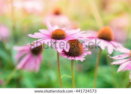 Blurred background image of  pink flower petal, zinnia flower, soft dreamy, Classic Zinnia flower in garden - stock photo