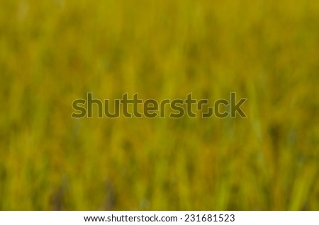 Blurred background  of golden rice paddy field   - stock photo