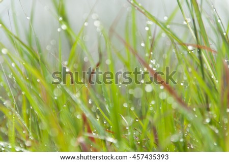 blurred drops of dew on a green grass at morning  - stock photo