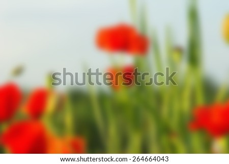 Blurred image background. Bright colored wallpaper. Poppy field on a sunny day. Field of poppies on a sun. Quiet sunset among a red poppy field. Green and red beautiful poppy flower field background. - stock photo