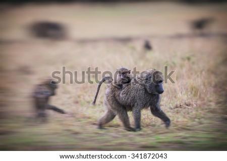 Blurred image of Baboons in the Maasai Mara National Park, Kenya - stock photo