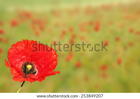 blurred poppy field background with one red poppy - stock photo