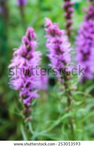 blurry defocused blooming liatris purple flower in the garden - stock photo
