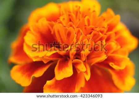 blurry orange marigold abstract - stock photo
