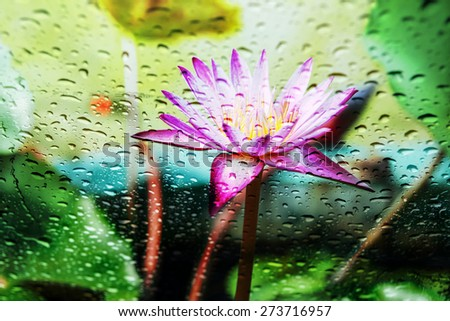 Blurry Purple Lotus  With rain drops on the glass - stock photo