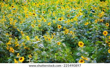 blurry  sunflower field land scape for background - stock photo