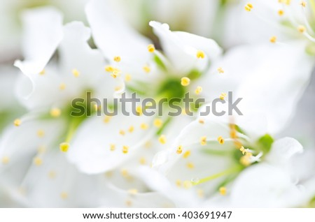 Blurry white flowers for nature background with bokeh. The first spring flowers, defocused photo, abstract floral background, soft focus, blooming trees, shallow depth of field. - stock photo