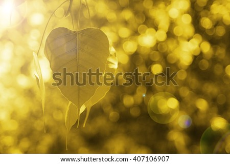 Bo leaves gold, Golden Leaf, Bodhi Tree  with sun bright, power of buddha background concept. - stock photo