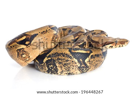 Boa constrictor in front of white background - stock photo