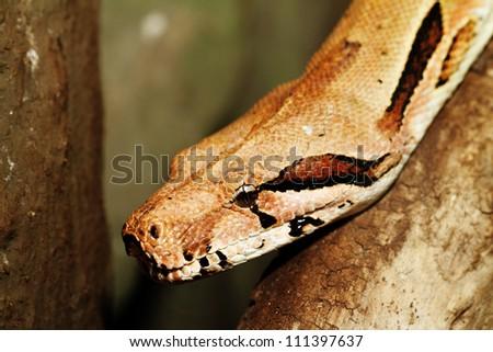 boa snake head close up - stock photo