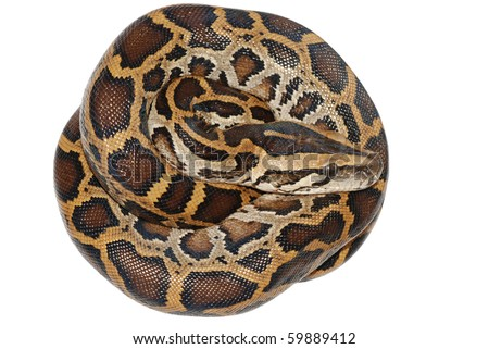 boa snake isolated on white background - stock photo