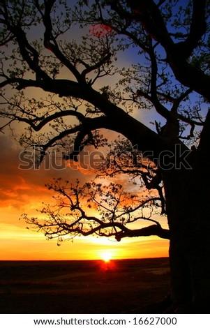 Boab tree, Kimberly, Australia - stock photo